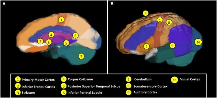 (A) Regiones neuronales y los mecanismos implicados en  el funcionamiento motor y de la percepción de acción, y (B) la coordinación y la conectividad neuronal sensoriomotora y la palabra y el funcionamiento del lenguaje.